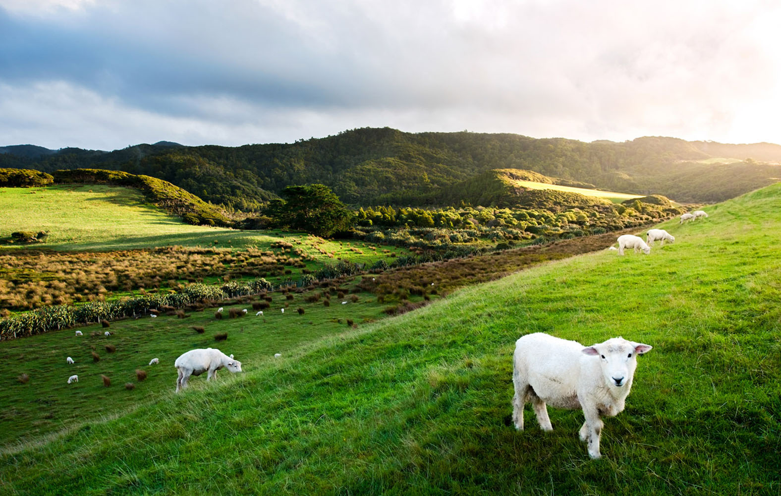 Sheep in a field in New Zealand.