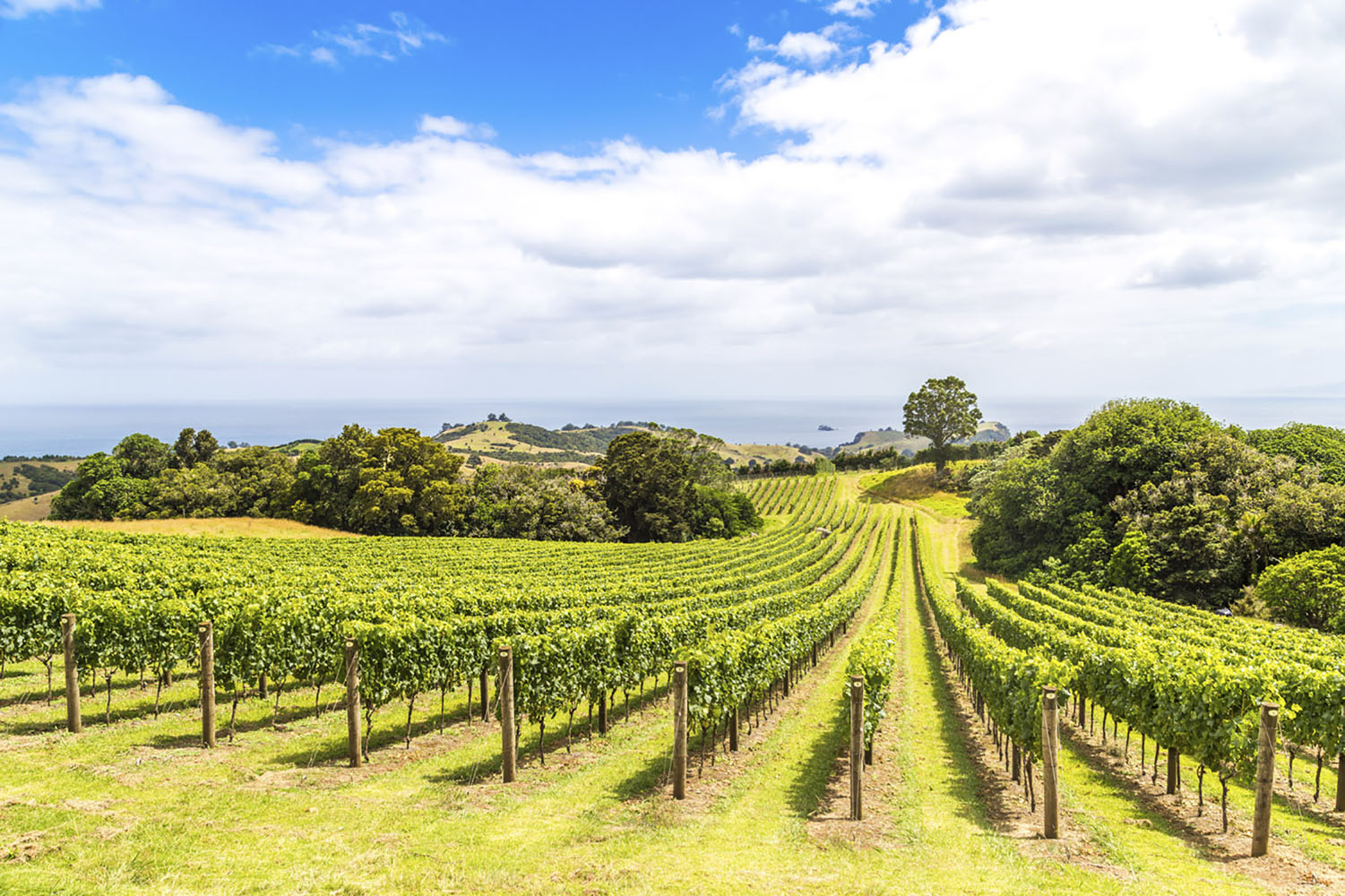 Vineyard in New Zealand.