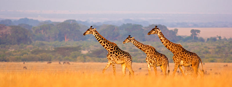Giraffes at the Ngunni Nature Sanctuary in Mombasa, Kenya