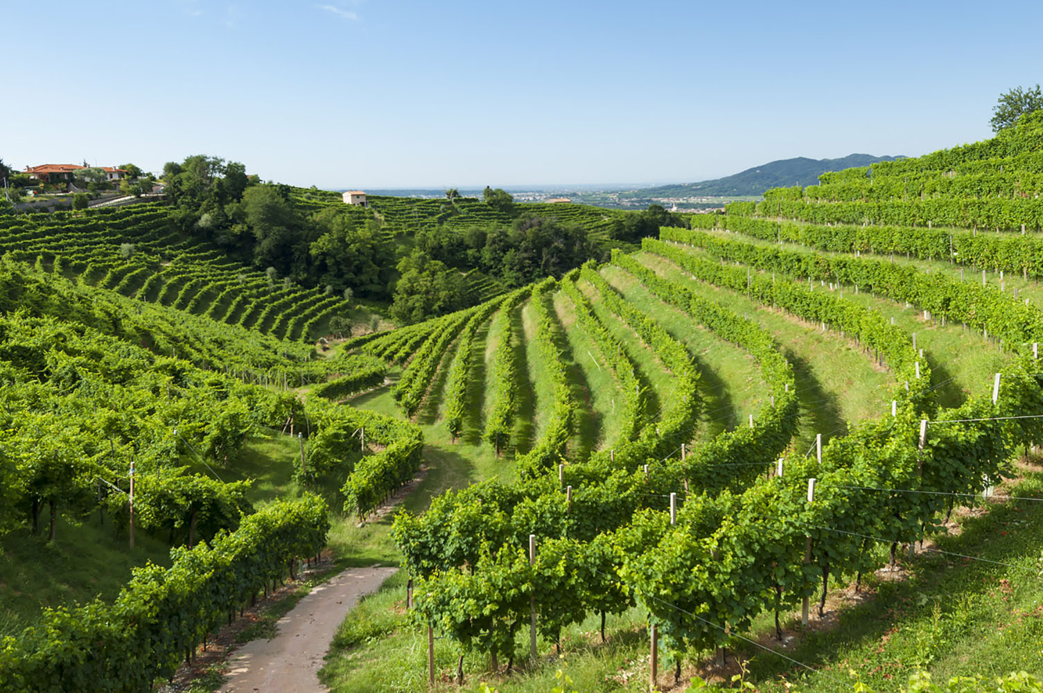 Vineyards in Northern Italy will produce Prosecco.