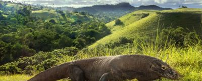 A Komodo Dragon.